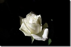 white rose on a dark background
