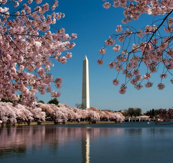 Cherry Blossom and Washington Monument