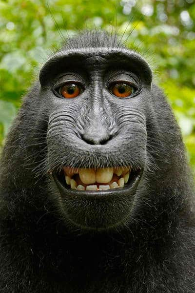 Macaca_nigra_self-portrait_rotated_and_cropped